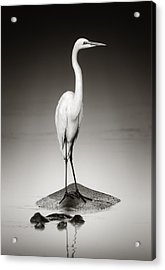 Great White Egret On Hippo Acrylic Print by Johan Swanepoel