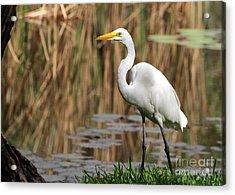 Great White Egret Taking A Stroll Acrylic Print by Sabrina L Ryan