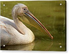 Great White Pelican On Water Acrylic Print by Bob Gibbons