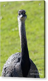 Greater Rhea 7d9043 Acrylic Print by Wingsdomain Art and Photography