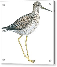 Greater Yellowlegs  Acrylic Print by Anonymous