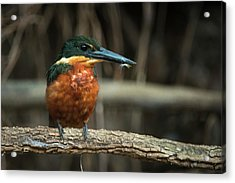 Green And Rufous Kingfisher Acrylic Print by Pete Oxford