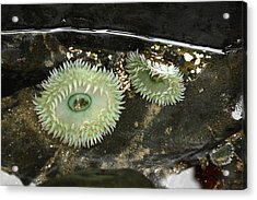 Green Anemones Acrylic Print by Steven A Bash