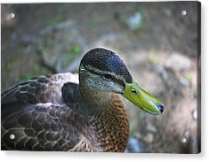 Green-billed Duck Acrylic Print by John Hoey