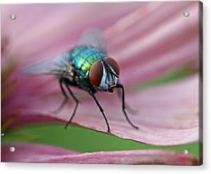 Green Bottle Fly Acrylic Print by Juergen Roth