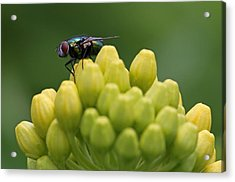 Green Bottle Fly Macro Acrylic Print by Juergen Roth