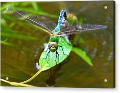 Green Darner Dragonfly Acrylic Print by Christina Rollo
