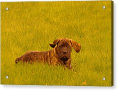 Green Grass And Floppy Ears Acrylic Print by Jeff Swan