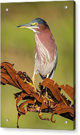 Green Heron Acrylic Print by Andres Leon