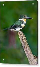 Green Kingfisher Chloroceryle Acrylic Print by Panoramic Images