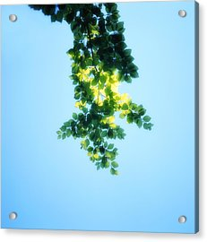 Green Leaves In The Sunshine - Soft - Available For Licensing Acrylic Print by Ulrich Kunst And Bettina Scheidulin