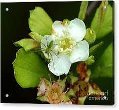 Green Lynx Spider On Blossom Acrylic Print by Theresa Willingham