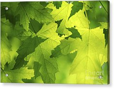 Green Maple Leaves Acrylic Print by Elena Elisseeva