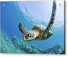 Green Sea Turtle - Maui Acrylic Print by M Swiet Productions