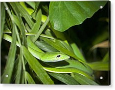 Green Snake Acrylic Print by Greg Reed