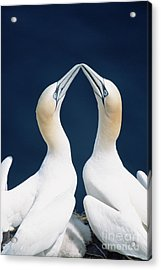 Greeting Northern Gannets Canada Acrylic Print by