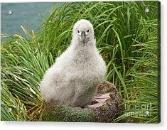 Grey-headed Albatross Chick S Georgia Acrylic Print by