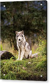 Grey Wolf  Canis Lupus  Pup Roams It S Acrylic Print by Doug Lindstrand