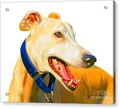 Greyhound Art Acrylic Print by Iain McDonald