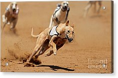 Greyhound Races Acrylic Print by Marvin Blaine