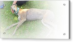 Greyhound Rescue 1 Acrylic Print by Jackie Bodnar