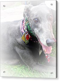 Greyhound Rescue 4 Acrylic Print by Jackie Bodnar