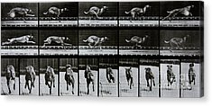 Greyhound Running Acrylic Print by Eadweard Muybridge