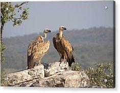 Griffon Vulture Pair Extremadura Spain Acrylic Print by Gerard de Hoog
