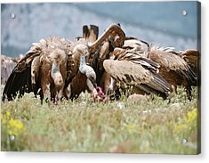 Griffon Vultures Scavenging Acrylic Print by Dr P. Marazzi