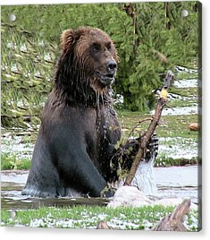Grizzly Bear 6 Acrylic Print by Thomas Woolworth