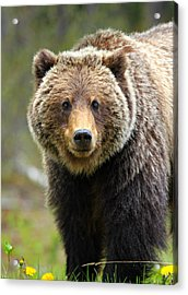 Grizzly Acrylic Print by Stephen Stookey