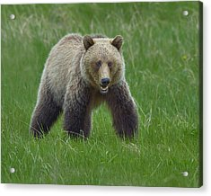 Grizzly Acrylic Print by Tony Beck