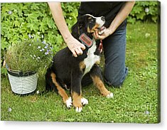 Grooming Bernese Mountain Puppy Acrylic Print by Jean-Michel Labat
