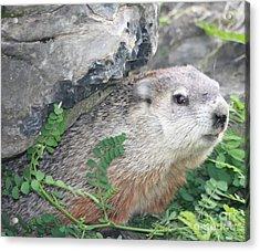 Groundhog Hiding Acrylic Print by John Telfer