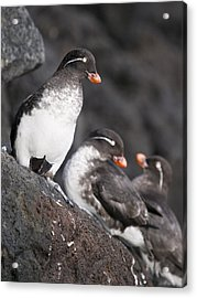Group Of Parakeet Auklets, St. Paul Acrylic Print by John Gibbens