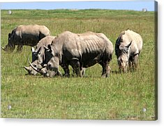 Group Of White Rhino Acrylic Print by Aidan Moran