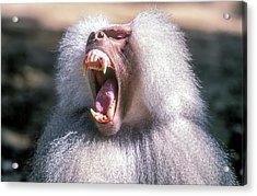 Growling Dominant Male Hamadryas Baboon Acrylic Print by Photostock-israel