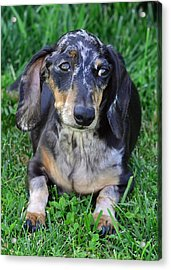 Gus The Dappled Miniature Dachshund Acrylic Print by Lisa Phillips