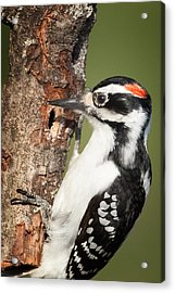 Hairy Woodpecker Acrylic Print by Bill Wakeley