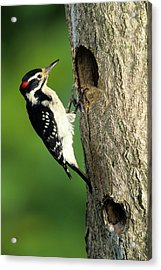 Hairy Woodpecker (picoides Villosus Acrylic Print by Richard and Susan Day