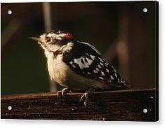 Hairy Woodpecker Acrylic Print by Scott Hovind