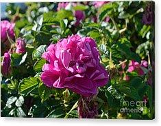 Hansa Rose At Dawn Acrylic Print by Alys Caviness-Gober