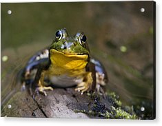 Happiness Frog Acrylic Print by Christina Rollo