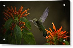 Happy Little Hummingbird  Acrylic Print by Saija  Lehtonen