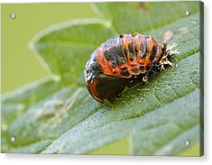 Harlequin Ladybird Pupa Acrylic Print by Heath Mcdonald