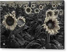 Haunting Sunflowers Field 3 Acrylic Print by Dave Dilli