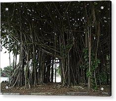 Hawaiian Banyan Tree - Hilo City Acrylic Print by Daniel Hagerman