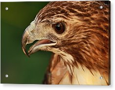 Hawk Eyes Acrylic Print by Dan Sproul