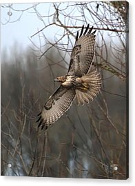Hawk In Flight Acrylic Print by Angie Vogel