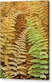 Hay-scented Ferns Acrylic Print by Alan L Graham